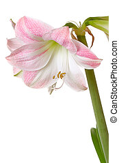 blooming amaryllis in pot on white background