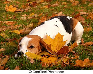 Beagle in autumn forest - Cute tricolour beagle lying in the...