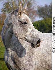 Gray horse portrait in summer at the pasture