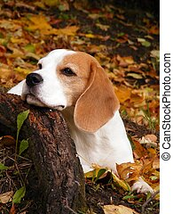 Beagle in autumn forest - Beagle lying on the ground in...