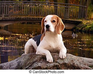 English beagle lying on the rock near the pond in autumn