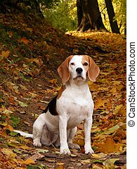 Beagle in autumn forest