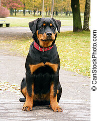 Rottweiler pup in the alleyway - Rottweiler pup sitting in...
