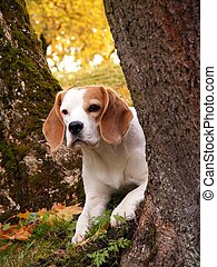 Beagle hiding behind the tree - Tricolour beagle hiding...