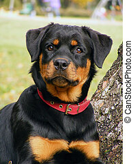 Rottweiler portrait - Adorable 5 month old rottweiler pup...