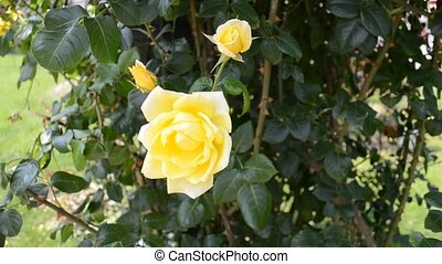 HD 1080 close up of yellow roses - HD 1080 close up shot of...