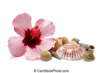 Hibiscus and Shells - Pink Hibiscus bloom with sea shells on...