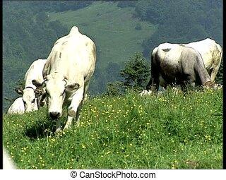 COWS white cows AUDIO