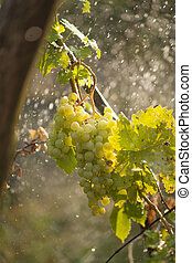 Watering grapes artificial rain