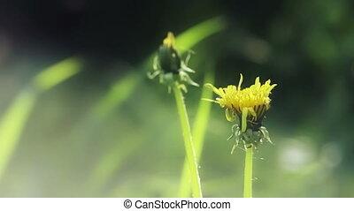 Yellow dandelion flower with defocu