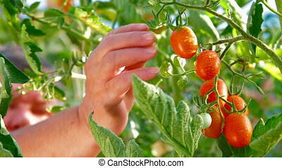 Tomato in Vegetable Garden - Female Gardener Picking Ripe...