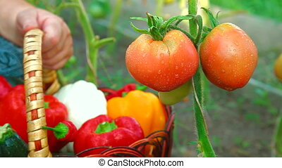 Ripe Tomato in Vegetable Garden - Female Gardener Picking...