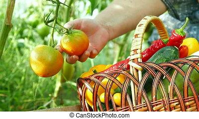 Fresh Vegetables - Female gardener harvests of fresh...