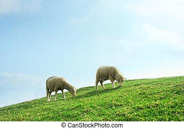 Sheeps in the Field - Sheeps grazing in the field, Cingjing...