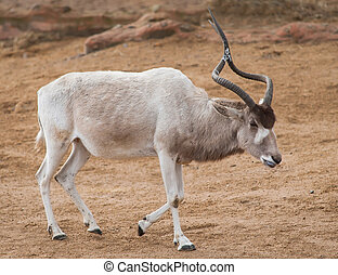 Addax or Mendes antelope: animals from Africa