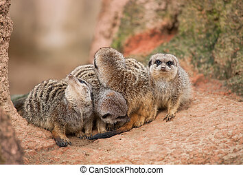 Look out: watchful meerkatsAnimal life in Africa