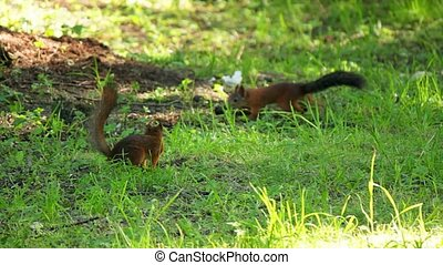 The two squirrels are looking for food in the meadow