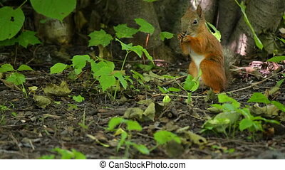 Squirrel sitting in the bushes - Squirrel is eating nuts...