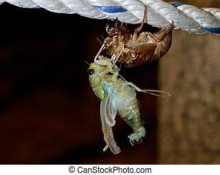 tibicen, último,  pruinosus,  (molting,  cicada), nacimiento