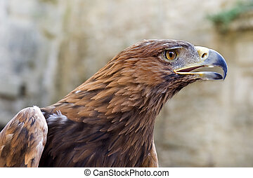 Golden Eagle ,Aquila chrysaetos - portrait of a Golden Eagle...
