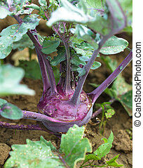 Kohlrabi in the garden - Kohlrabi close up growing in the...
