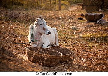 Indian white cow in farmland - Indian cow in farm land in a...