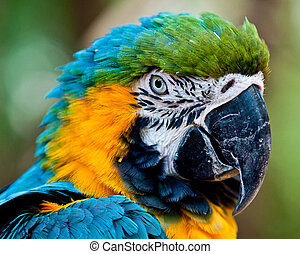 Blue and yellow macaw - Close up portrait of blue and yellow...