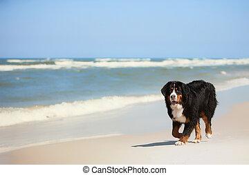 Dog on the beach - Bernese Mountain Dog on sandy beaches