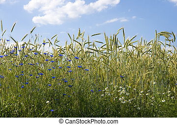 Ripening rye in the field of summertime with cornflower and chamomile flower