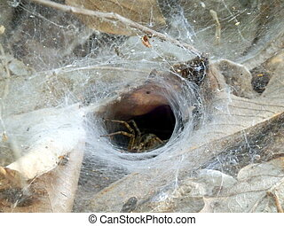 European Funnel Web Spider