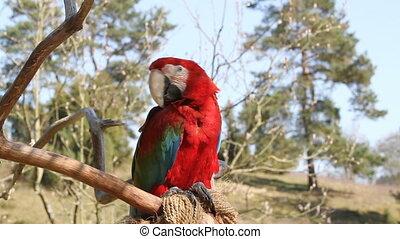Ara - Sitting red ara