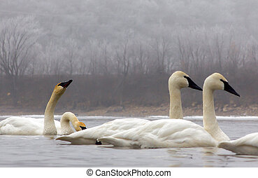 Wintering Trumpeter Swans - Trumpeter Swans spent the Winter...