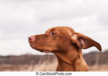Vizsla Dog on a Windy Day - A Vizsla dog (Hungarian pointer)...