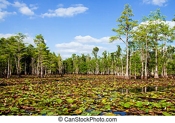 Cypress trees lily pads in swamp - Cypress trees lily pads...