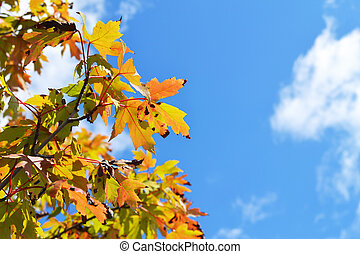 Fall leaves against blue sky - fall leaves against a blue...
