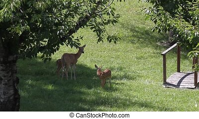 Twin Fawns and Whitetail Doe - They are not threatened by me...