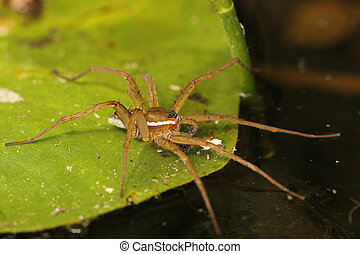 Six-spotted Fishing Spider Dolomodes triton Waiting to...