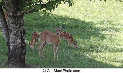 Whitetail Doe and Her Fawns