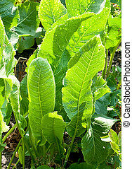 green leaves of horseradish plant
