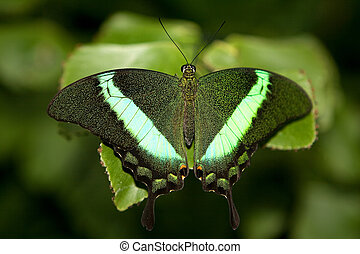Emerald Swallowtail - Emerald Swallow Tail Butterfly resting...