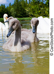 cygnet - A young sygnet in a small lake in england