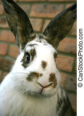 Pet rabbit in the garden - A dwarf lop eared pet rabbit in...