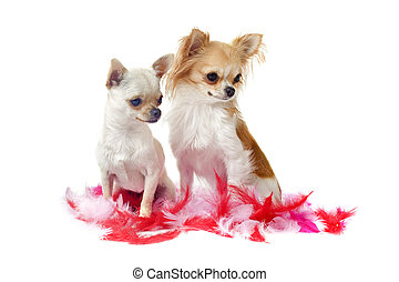 chihuahuas with pink feather - portrait of a cute purebred...
