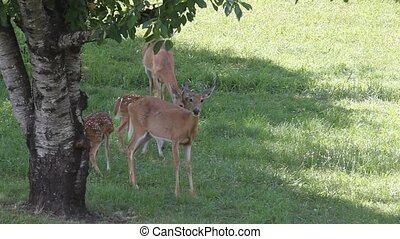 Whitetail Deer Family - Whitetail Doe with her Twin Fawns. A...