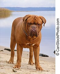 French mastiff standing at the lake coast