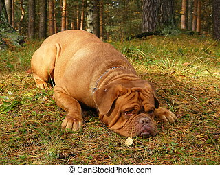Sad french mastiff lying on the ground in forest - Sad...