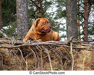 French mastiff in the forest - French mastiff resting in the...