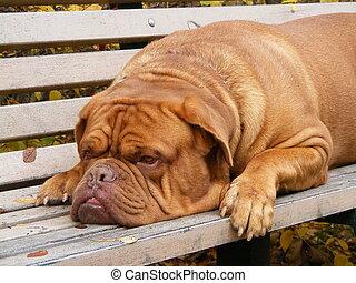 French mastiff resting on the garden bench - Sad french...