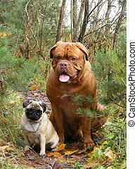 French mastiff and pug in the forest - Friendly french...