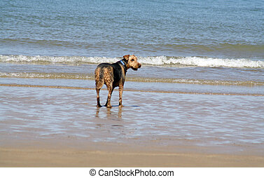 dog on the beach - dog playing in the sea